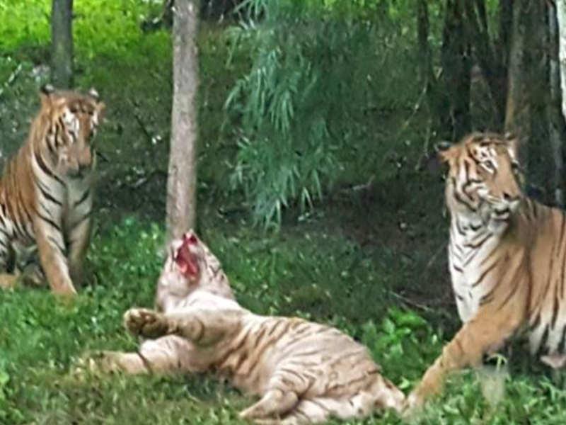 White tiger eating man