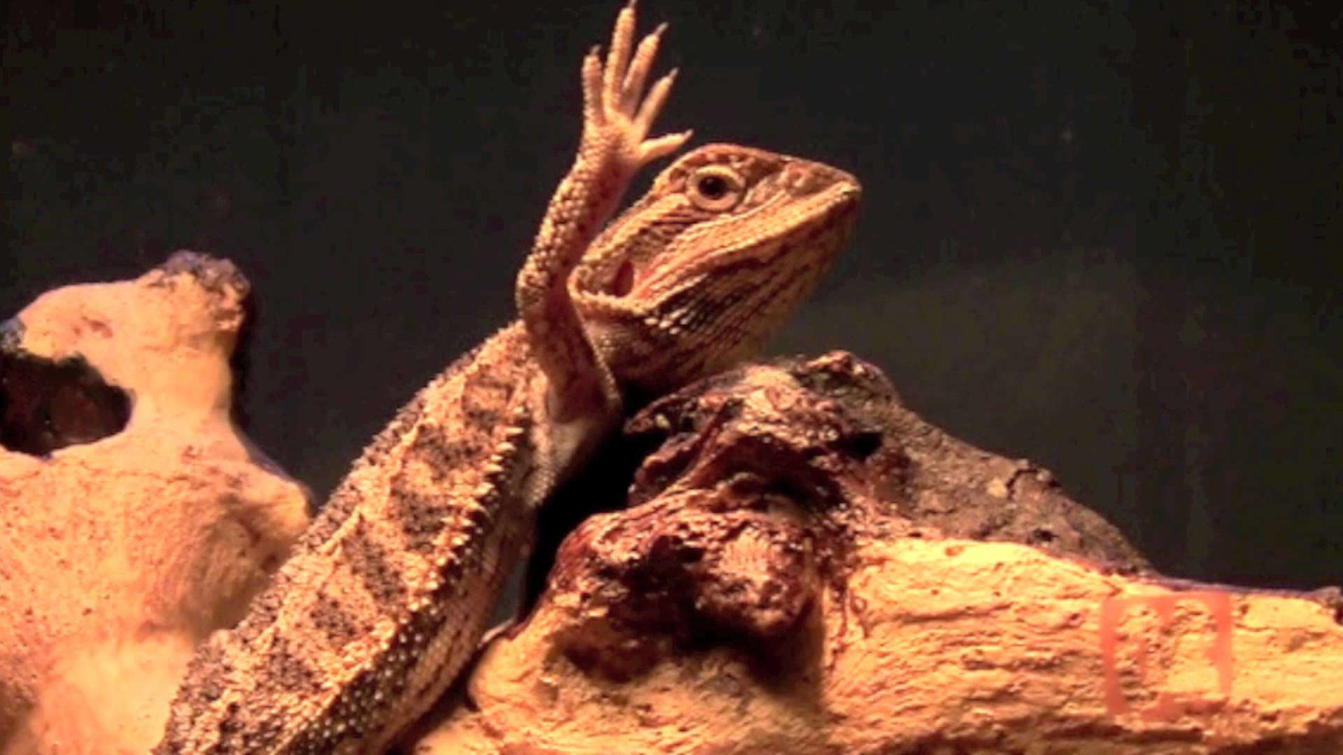 Bearded dragon lizard cute