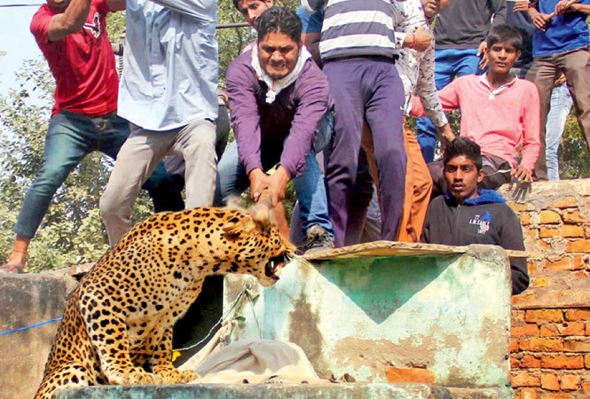 A group of villagers lynched a leopard on Thursday after it entered their village and attacked eight people