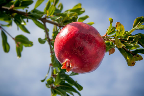 Pomegranate 2103105 960 720