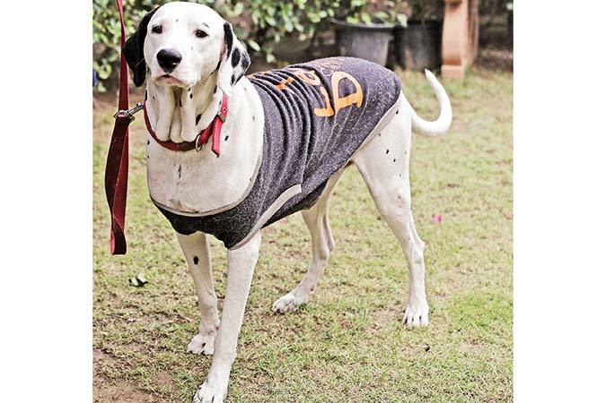 NT-P1-Nawab,-a-Dalmatian-stays-protected-in-this-hoodie