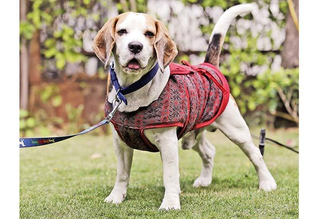 NT-P1-Pebbles,-beagle--(2)