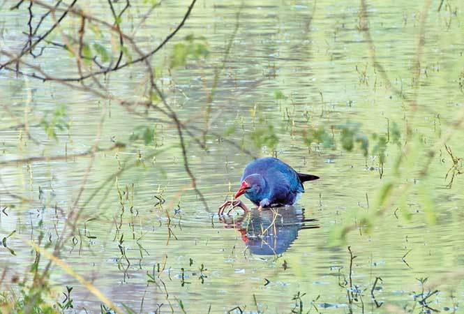Purple-Swamphen-(3)