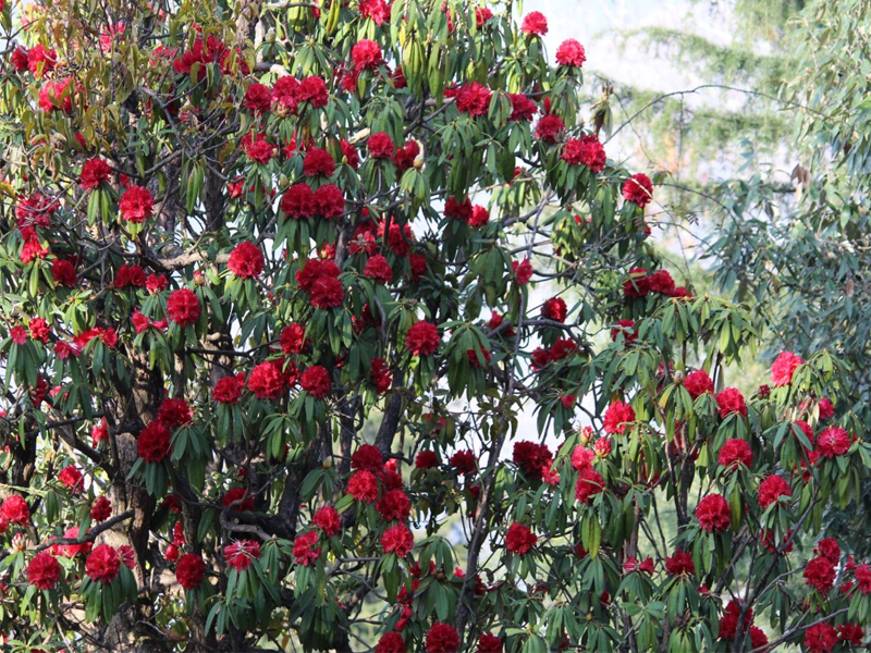 Himalayan species uttrakhand spring flower blooms in mid winter worried naresh kumar a rhododendron grower from bagori said we used to feel happy earlier that spring would bring more income to us mightylinksfo