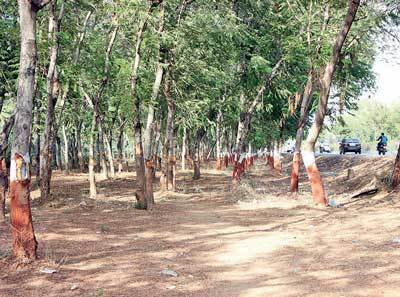 Traffic management need of the hour, not axing trees, say citizens; Pic: Nilkanth Dave