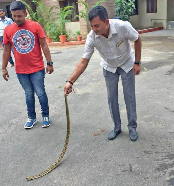 Dhanani rescuing the snake at his bungalow