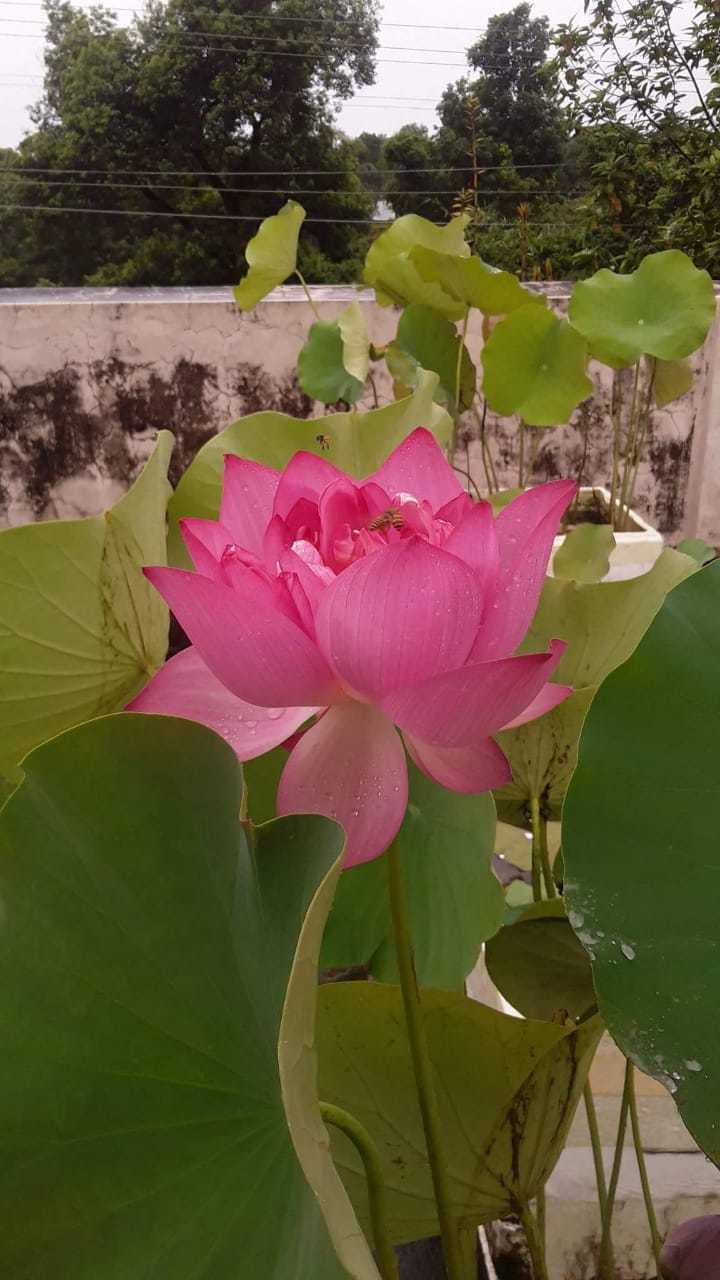 Lotus love lotus lots and lots kochi news times of india as i crossed large sized lotus and micro bowl lotus ala melu comes in medium size we can grow it in a one and a half foot container he says izmirmasajfo
