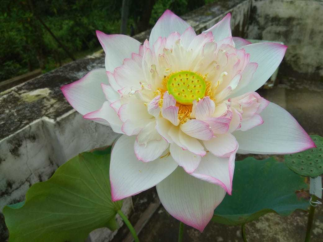 Lotus love lotus lots and lots kochi news times of india ganesh found that the lotus plants at his home in kerala did not produce as many flowers as they did in tripura there are two kinds of lotus north mightylinksfo