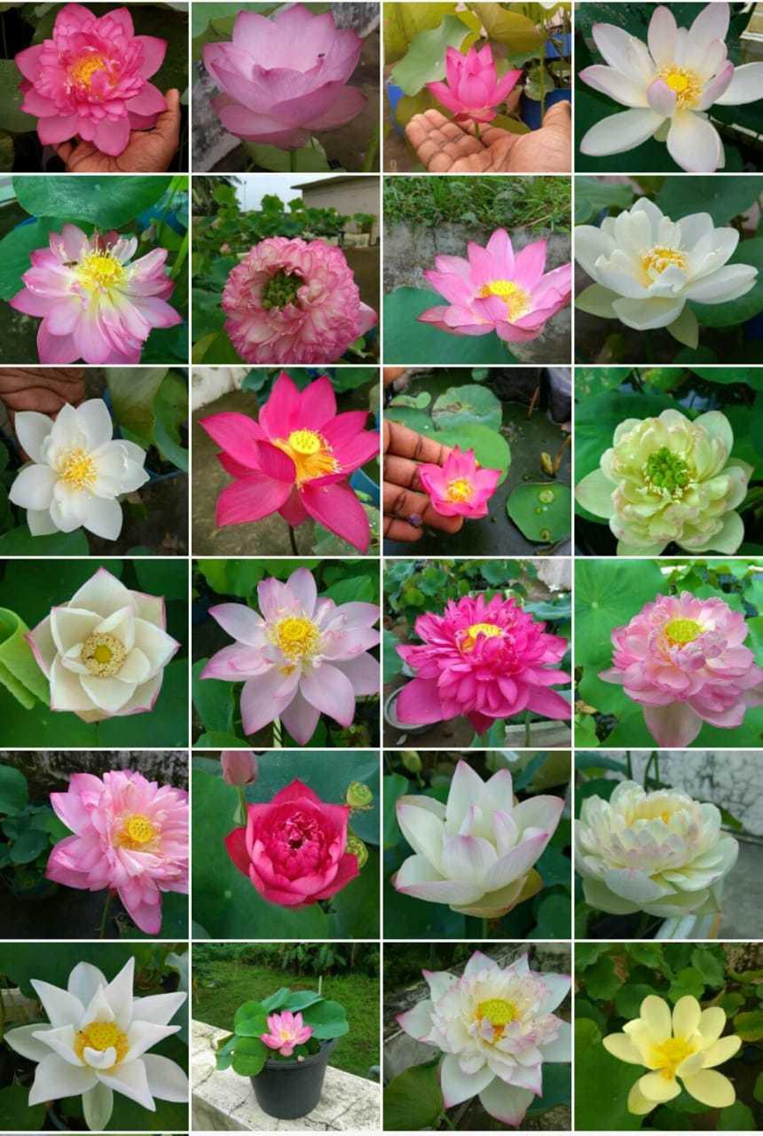 Lotus Love Lotus Lots And Lots Kochi News Times Of India