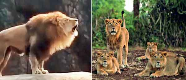 African Lion in Chicago's Lincoln Park Zoo video; Now, here's the pride of our very own Gir Asiatic lions
