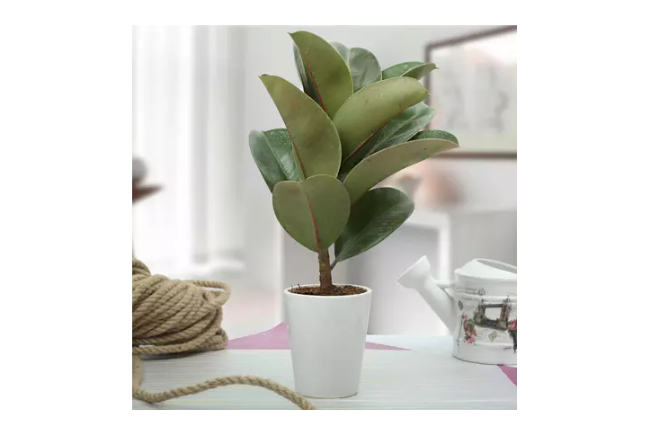 Air Purifying indoor plant