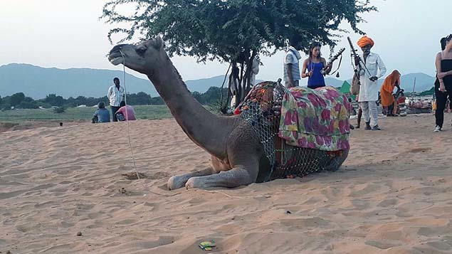 Camel safari at sunset635