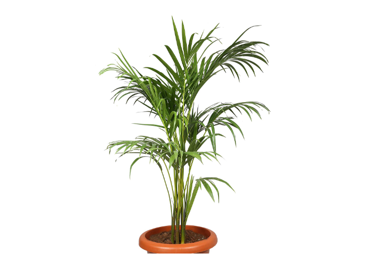 Choloroplants Areca Palm Plant