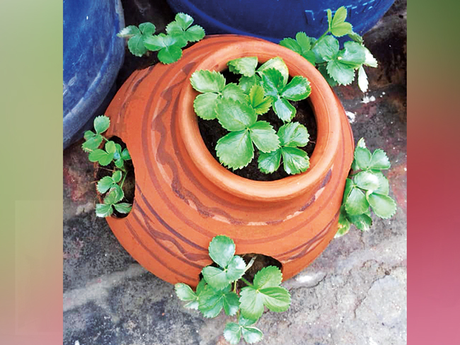 Strawberry plants can be grown in different spaces, like in a terracotta pot with cavities through which saplings can grow