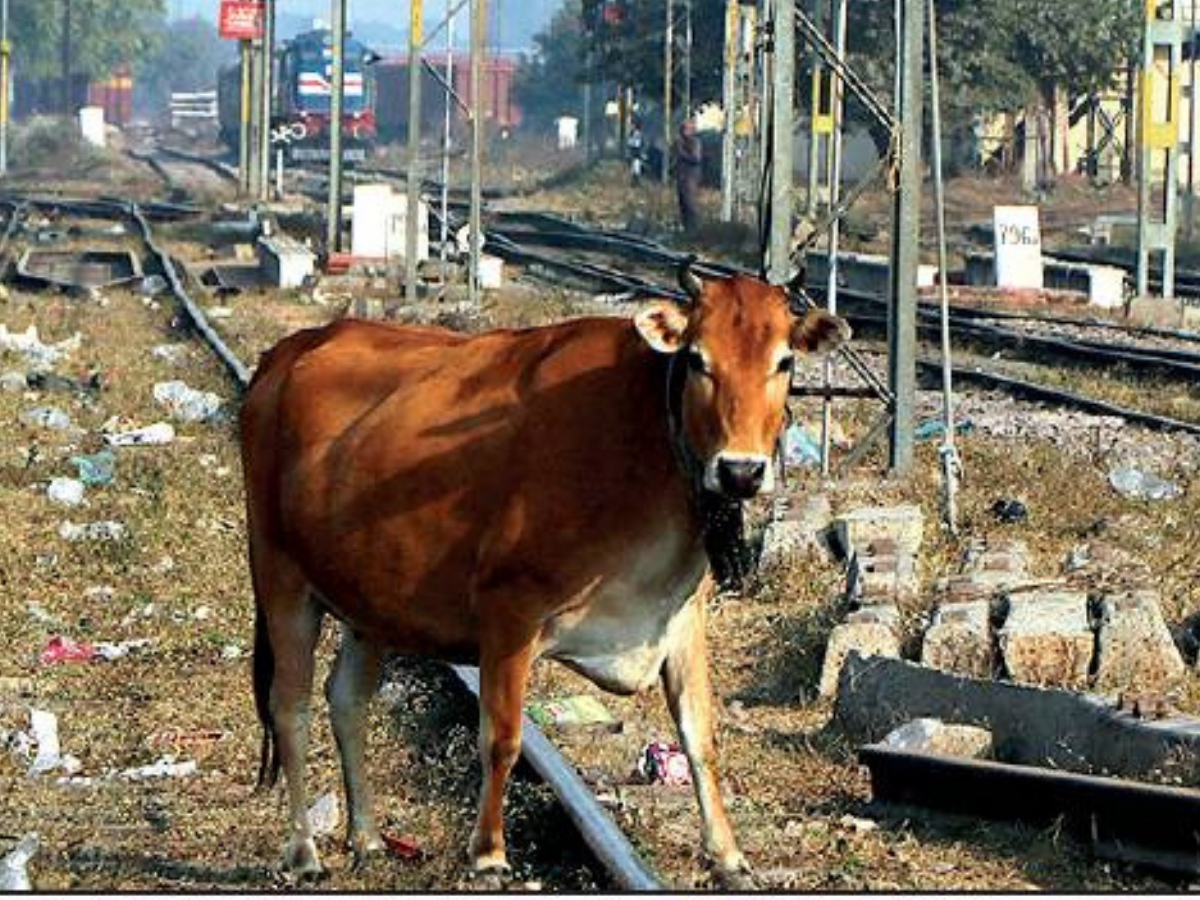 cow railway track1