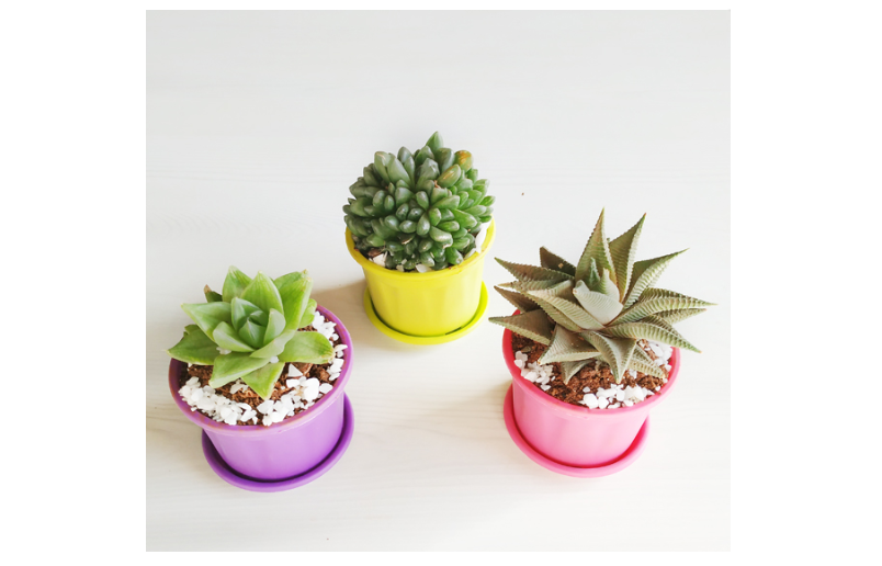 Set of 3 succulents featuring Star cactus and Star window