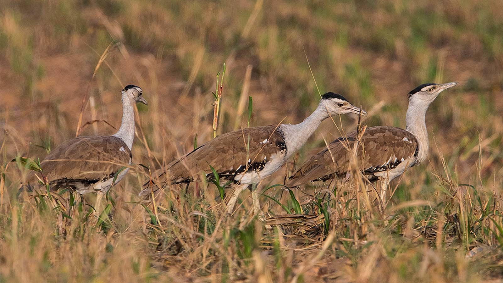 From 250 in 2011, there are now less than 150 Great Indian Bustards in the wild