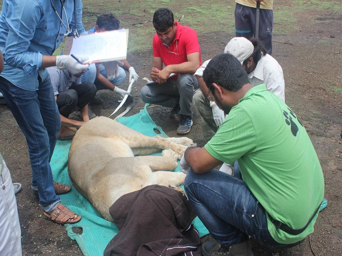 asiatic lion 2