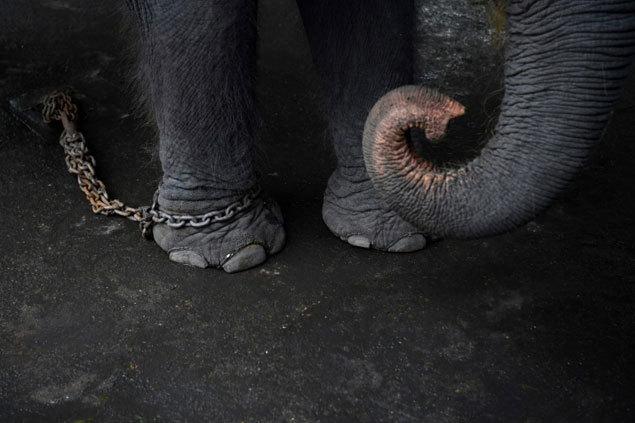 Elephants2-afp