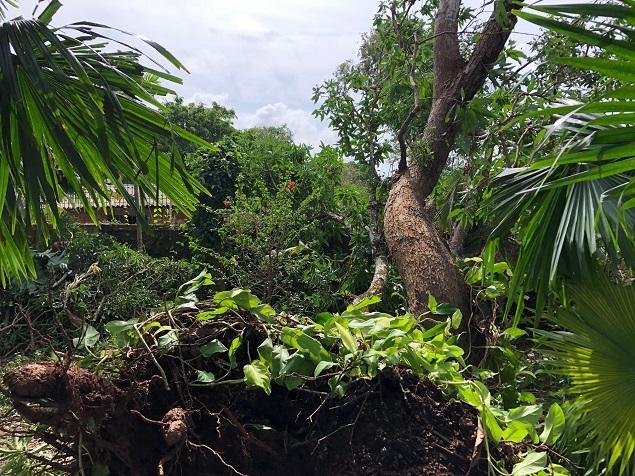 Amitav Ghosh-Mango Tree