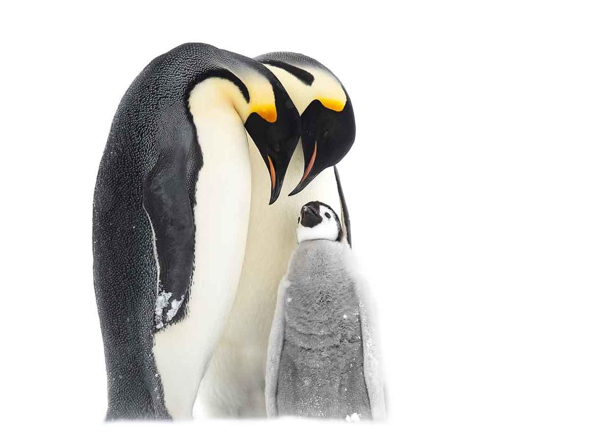 Emperor Penguin Parenting (1)