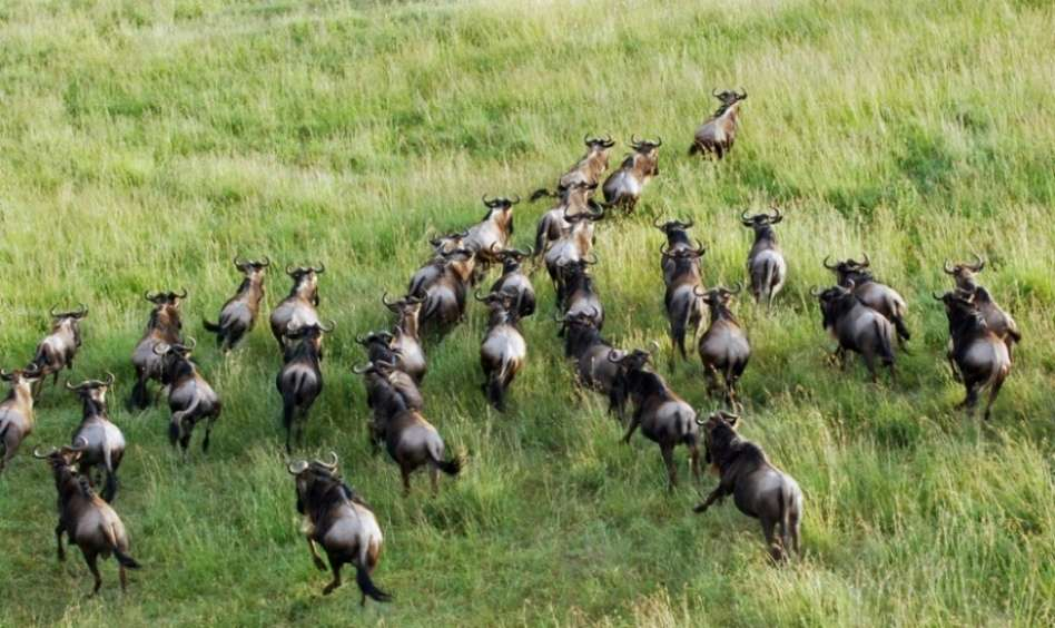 The Serengeti Wildebeest Migration