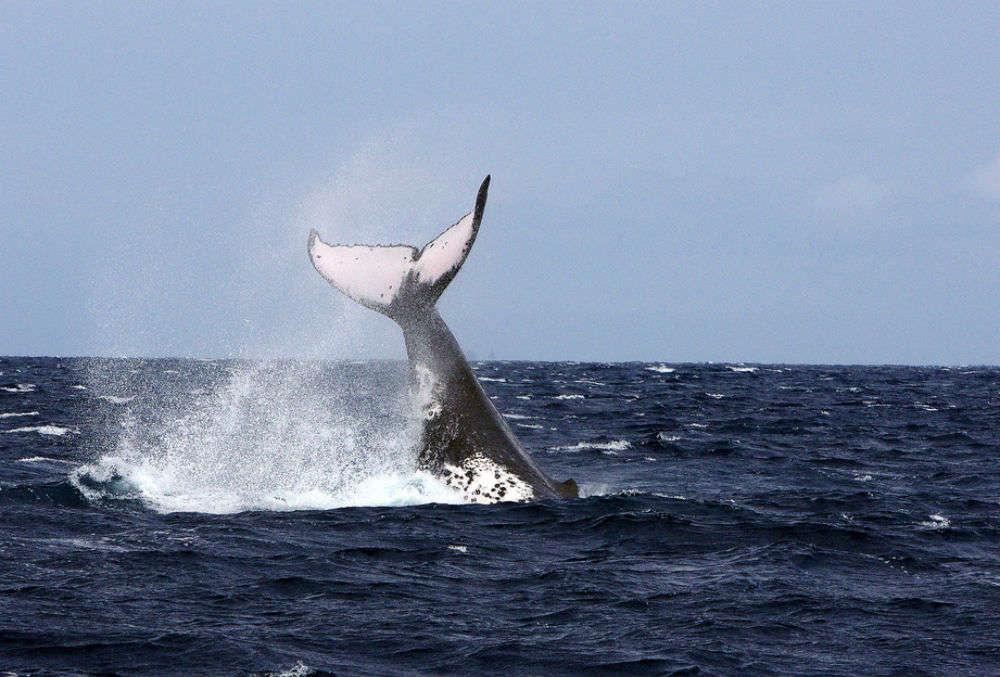 The humpbacks in Tonga