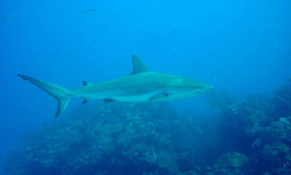 Dive with reef sharks in the Grand Bahamas