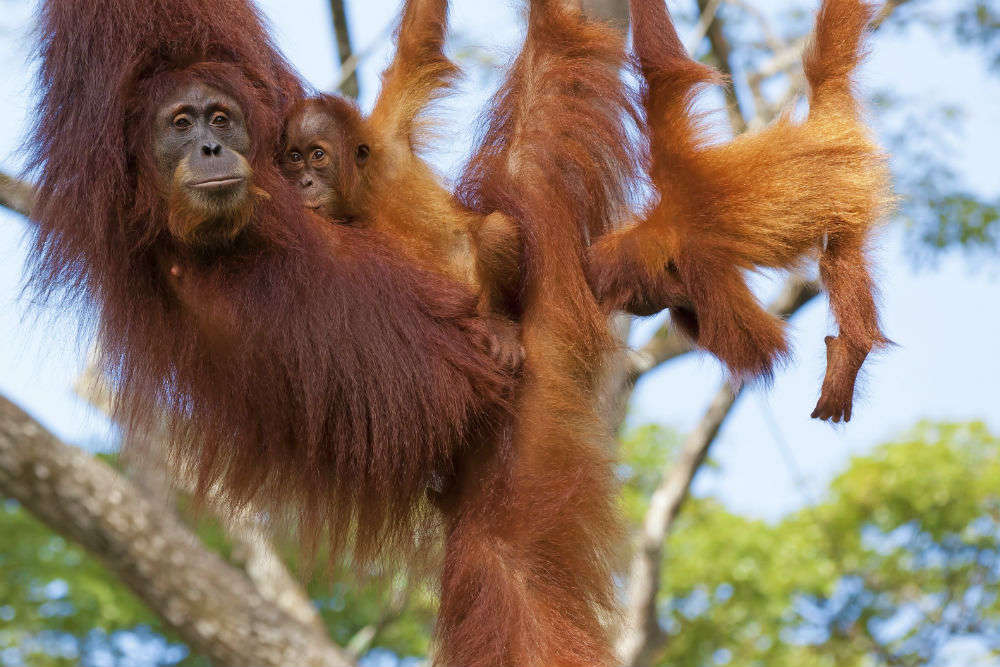 The wild orangutans of Borneo