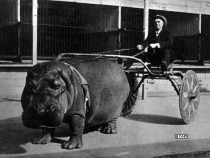 Lotus, the hippopotamus from The Barnes Circus