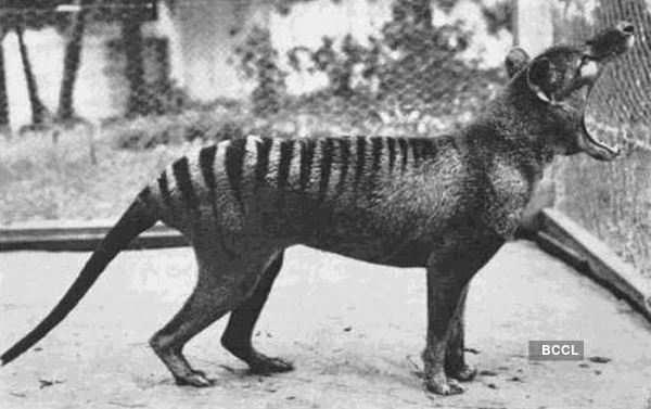Thylacine, an extinct Tasmanian Tiger