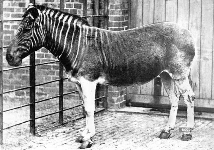 An extinct subspecies of the plains zebra