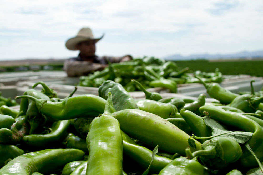 Tasting the green chile at its culinary best