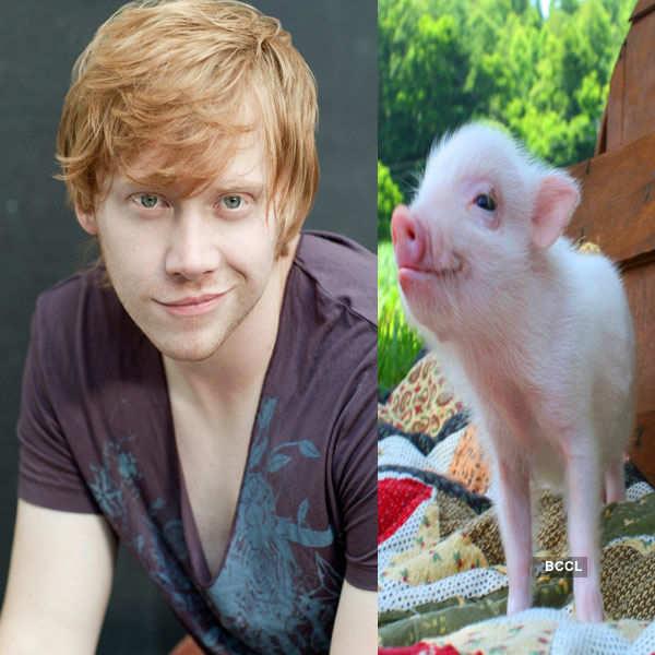 Harry Potter star Rupert Grint bought home a teacup pig