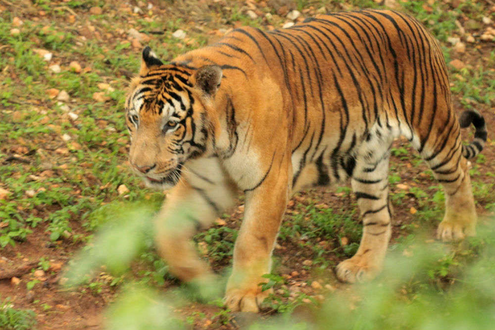 Meet a tiger in Mysore Zoo
