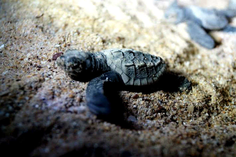 Galgibaga Turtle Beach