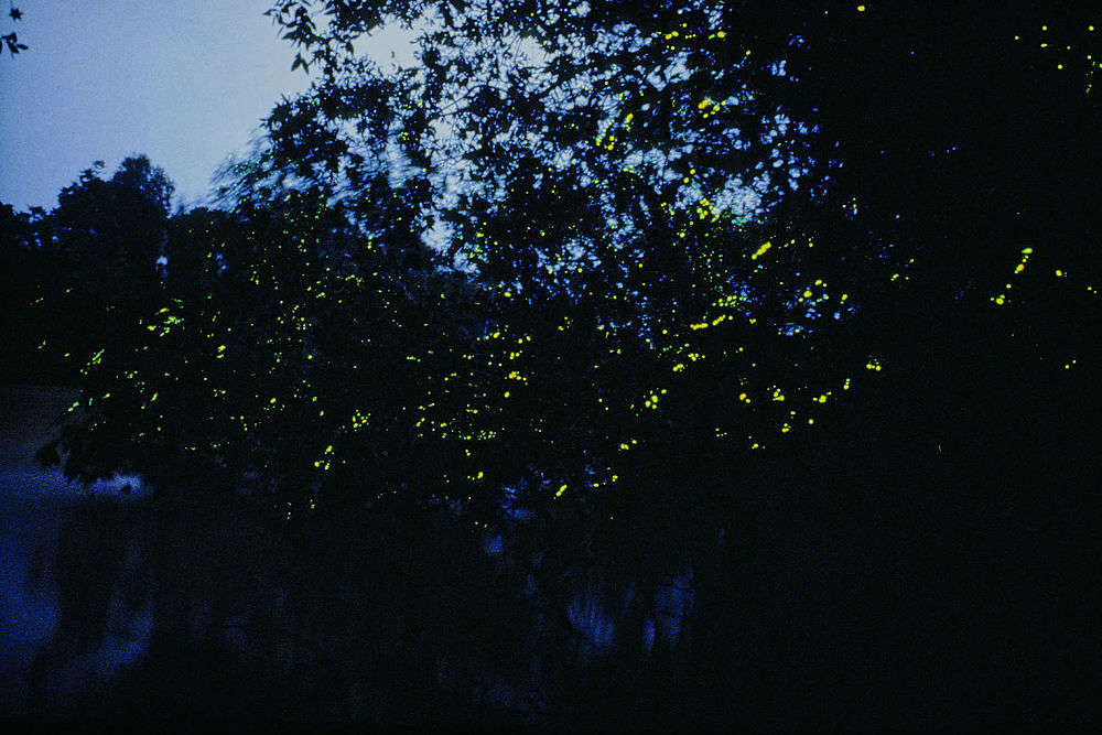Get bedazzled by magical fireflies display in the tropics