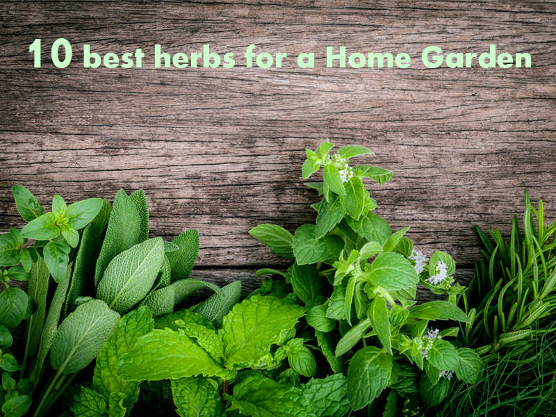 Herbs Are Easy To Grow And Have Infinite Medicinal Properties Presently When The World Around You Is Fighting With Incurable Diseases Like Chikungunya