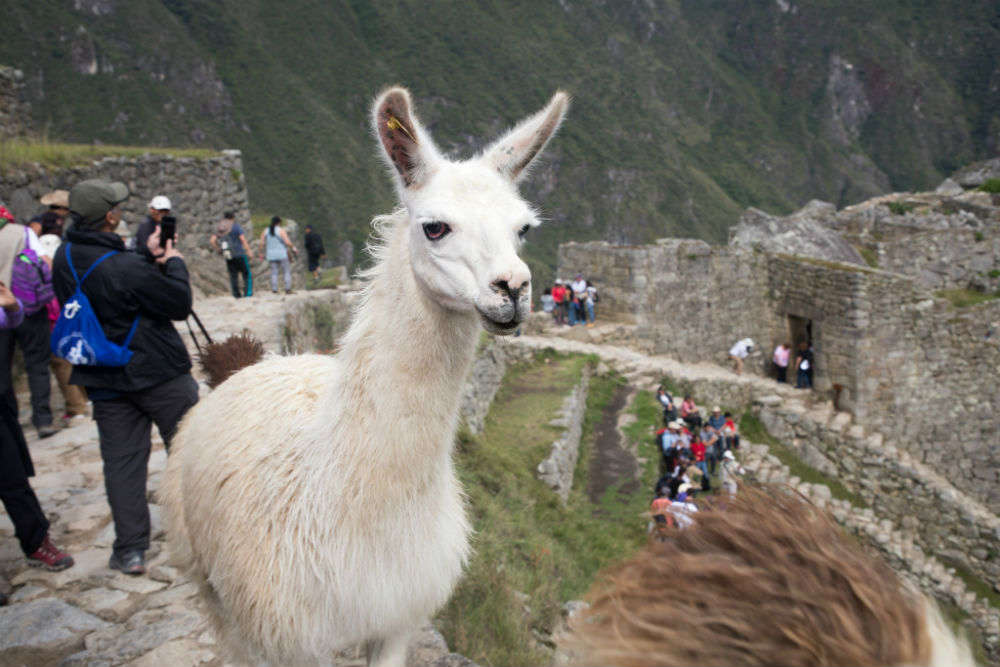 Get clicked with an llama
