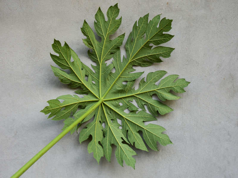 How to use papaya leaves to fight dengue