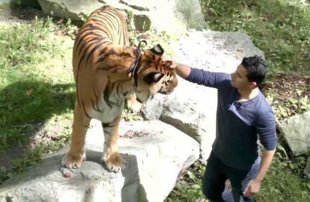 Raman-tiger