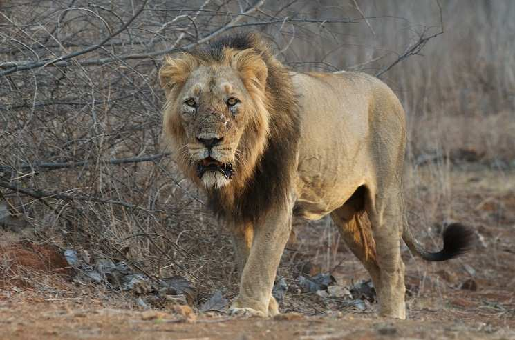 The Incredible Asiatic or Indian Lions