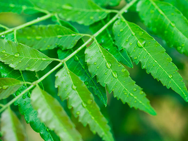 10 reasons why you must have neem leaves daily for a month before