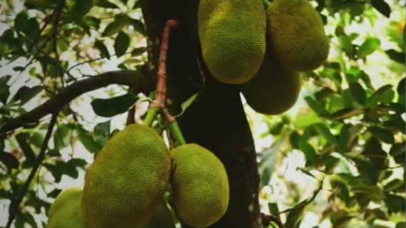 essay on jackfruit tree in kannada