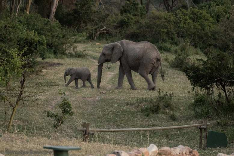 A family of elephants walks outside our camp. Photo taken from inside the camp