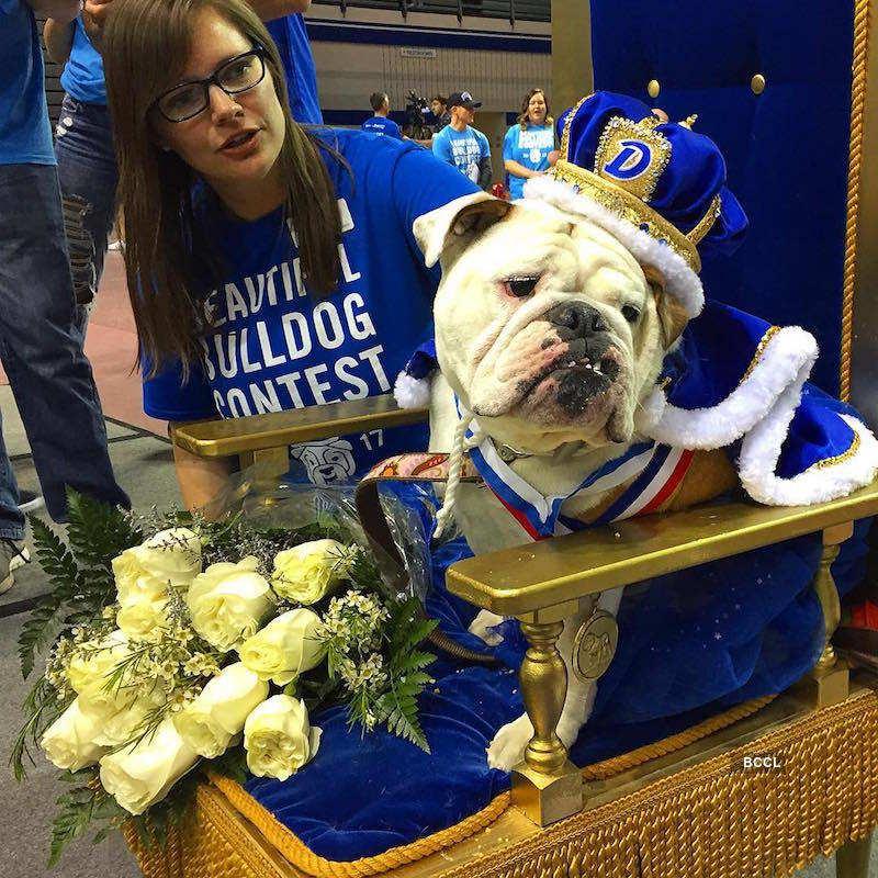 39th Beautiful Bulldog Contest