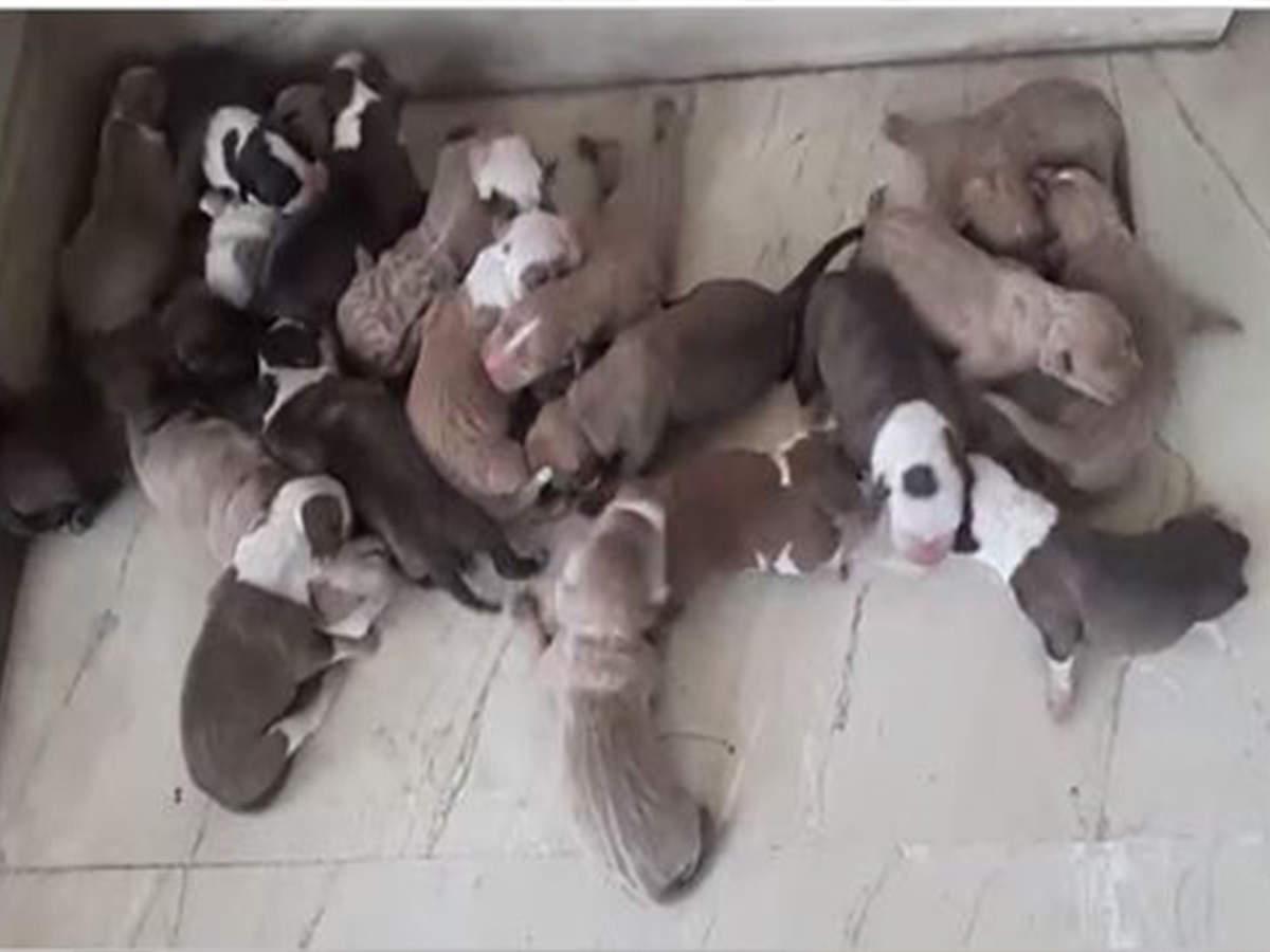 American pitbull delivers 21 puppies in Bengaluru