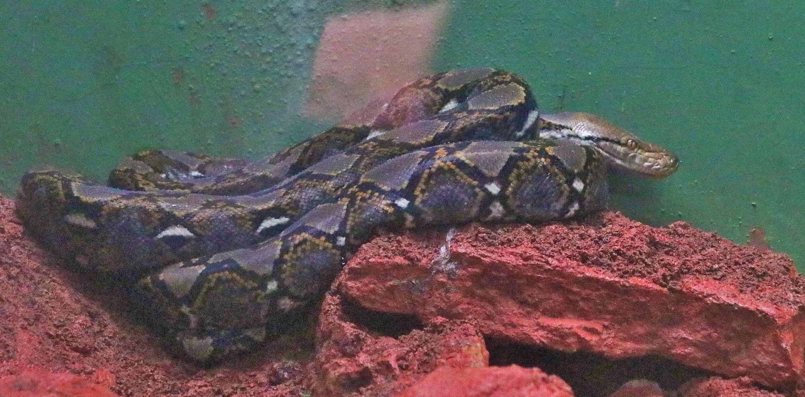 A python inside the reptile enclosure - Copy