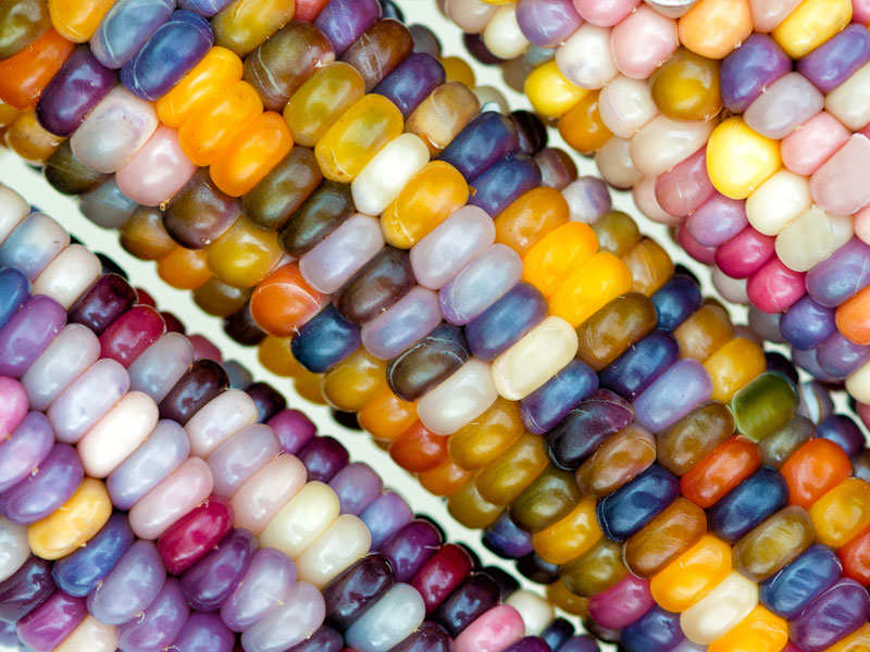 Is Glass Gem Corn Real And Can One Eat It The Times Of India