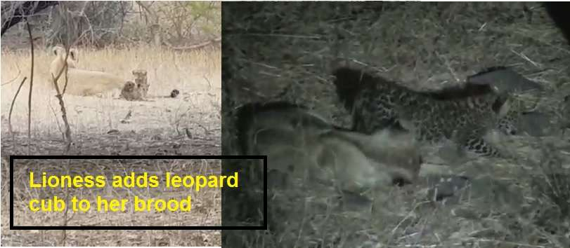 Video: Lioness Adds Leopard Cub to her brood